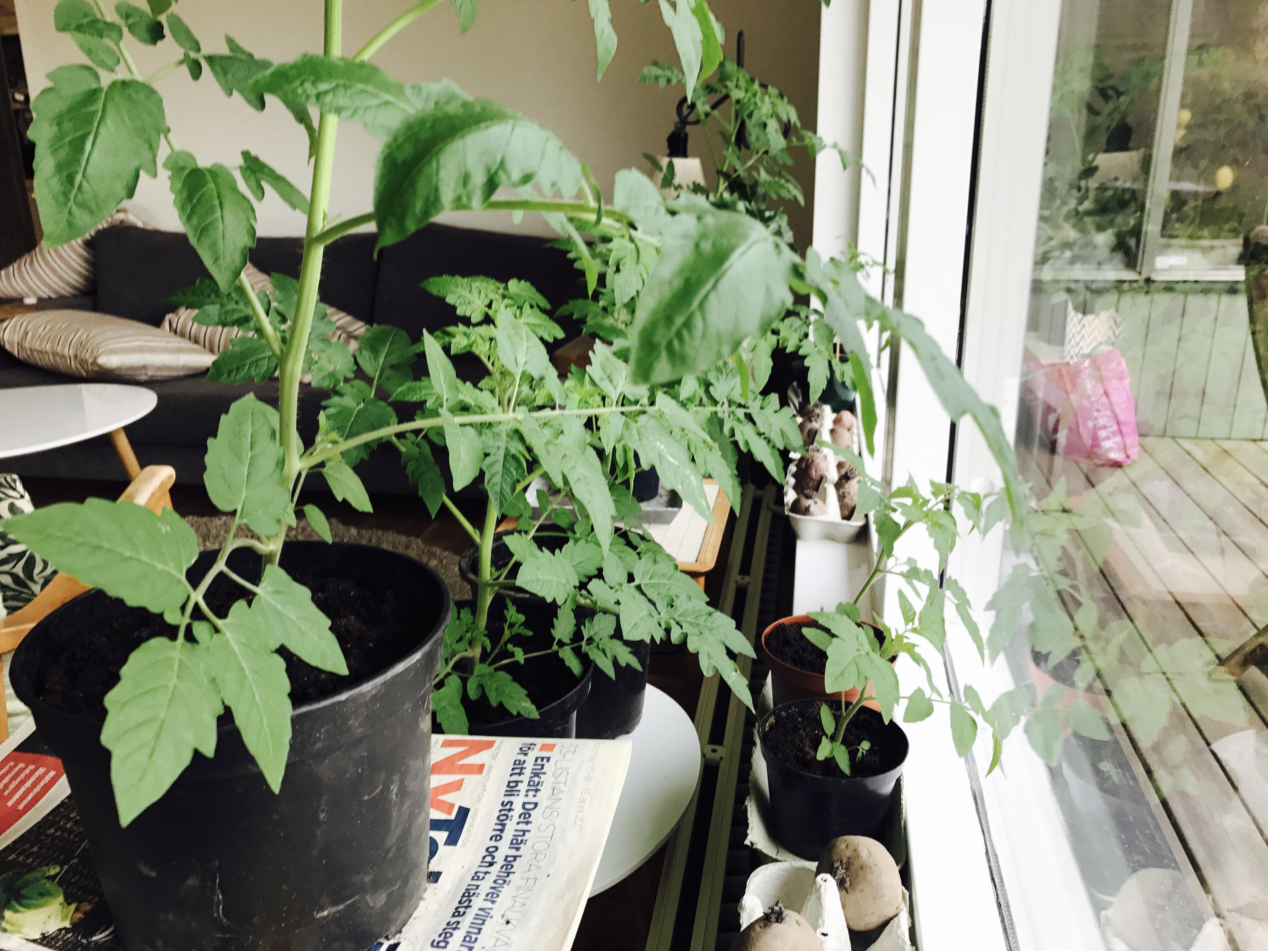 Tomatplantor och potatis som gror skott.
