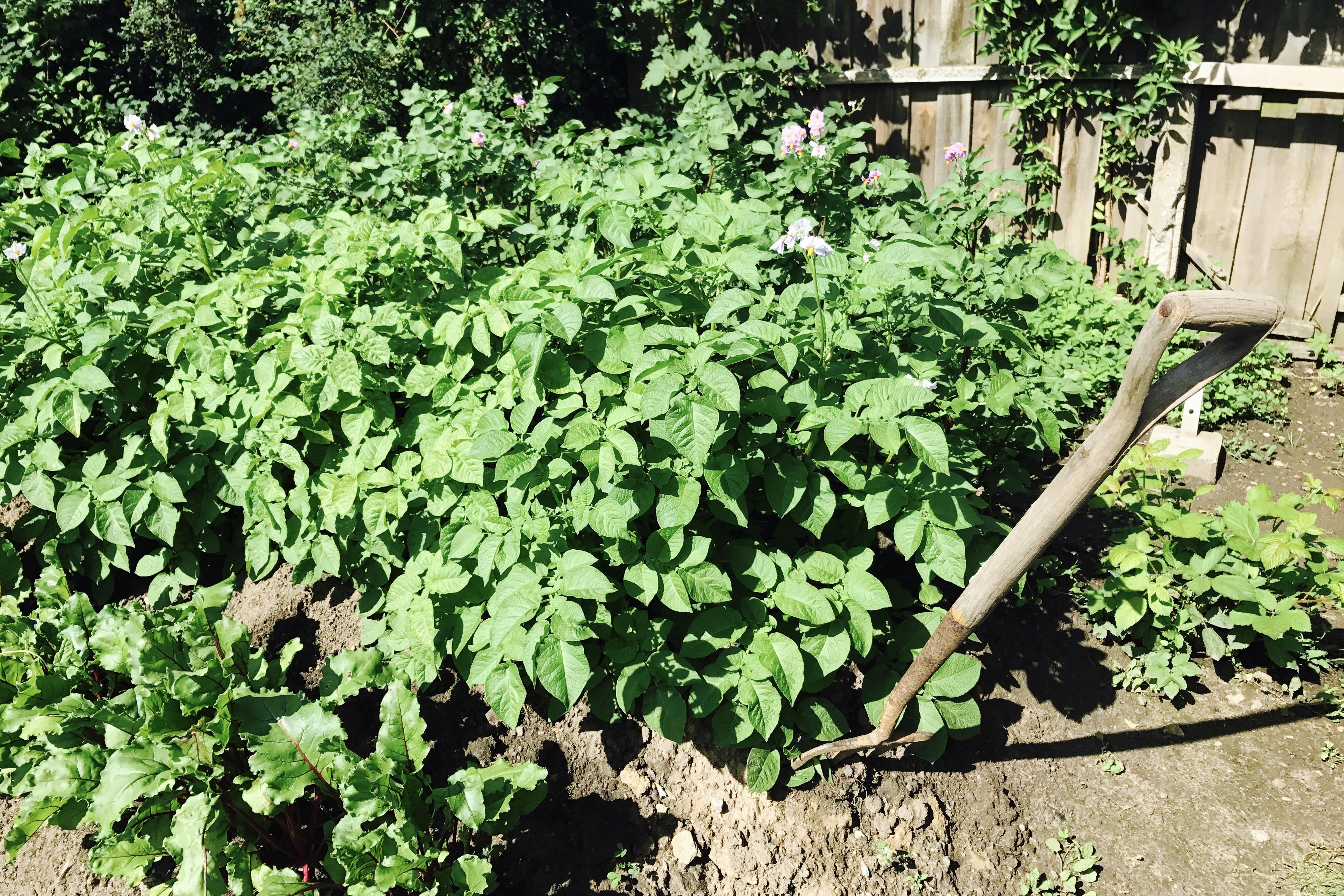 Potatisland med grep